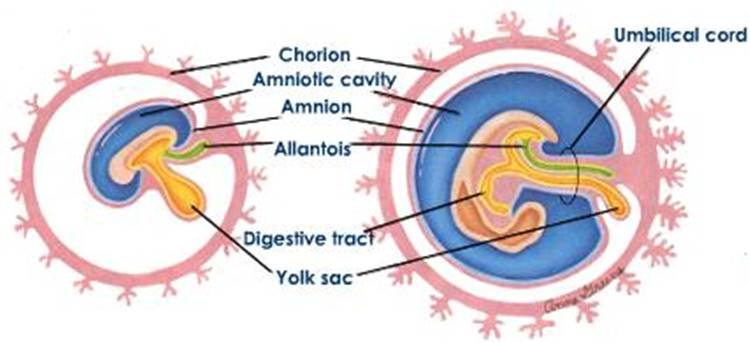 Genel embriyoloji