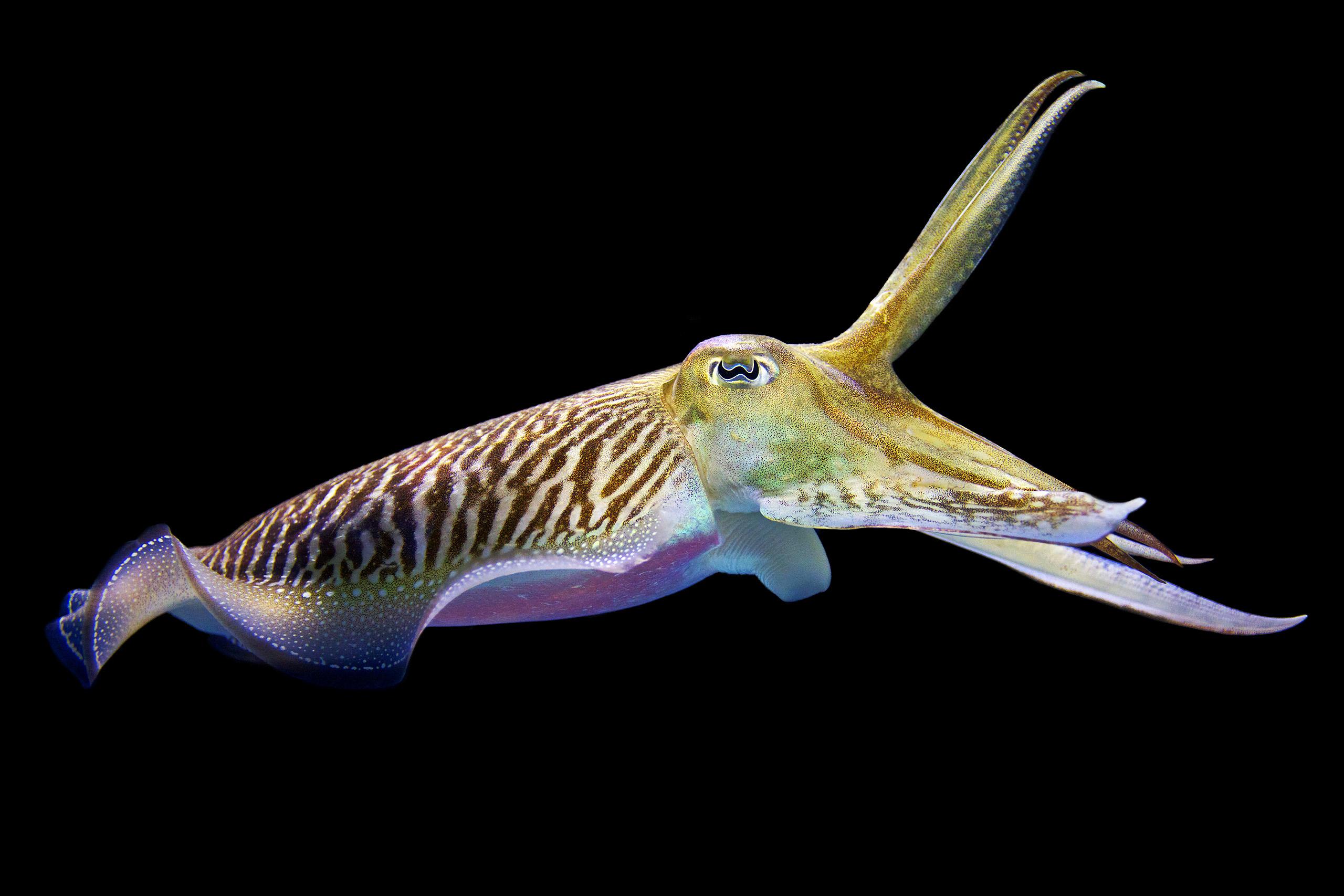 cute cuttle fish - HD1620×1080