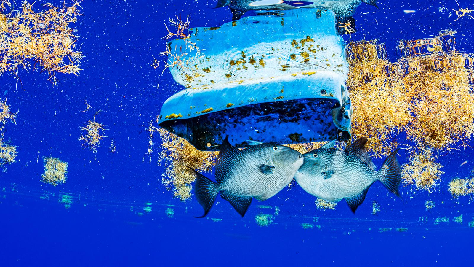 Sargasso Denizi ve canlıları tehdit eden çöpler